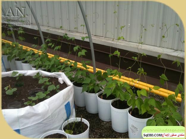 زراعة الاسطح المنزلية بالصور,.زراعة الاسطح, زراعة الخضروات في حديقة المنزل do.php?img=7631