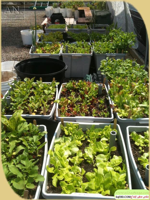 زراعة الاسطح المنزلية بالصور,.زراعة الاسطح, زراعة الخضروات في حديقة المنزل do.php?img=7633