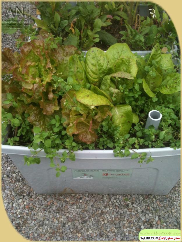 زراعة الاسطح المنزلية بالصور,.زراعة الاسطح, زراعة الخضروات في حديقة المنزل do.php?img=7634