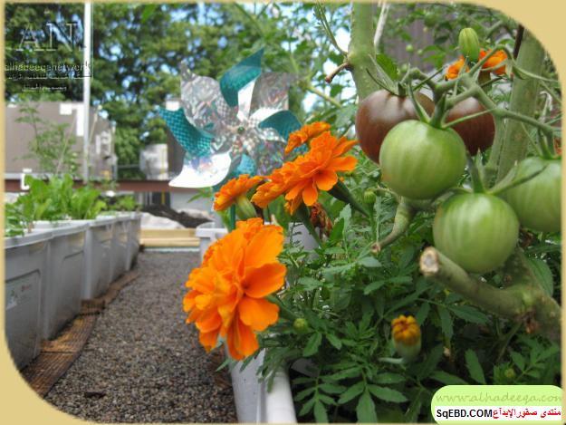 زراعة الاسطح المنزلية بالصور,.زراعة الاسطح, زراعة الخضروات في حديقة المنزل do.php?img=7635