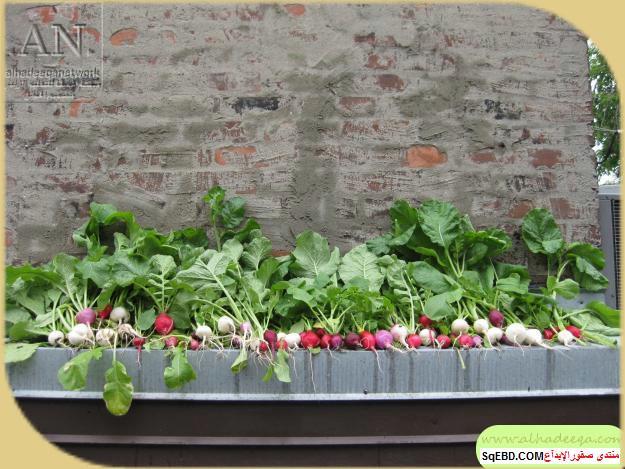 زراعة الاسطح المنزلية بالصور,.زراعة الاسطح, زراعة الخضروات في حديقة المنزل do.php?img=7636