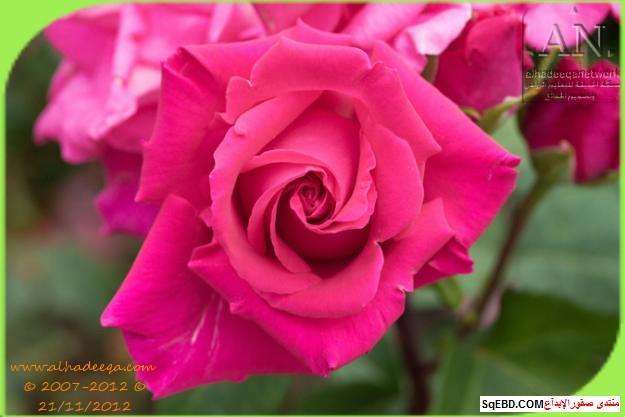 بالصور اجمل ورود الصباح, الحديقة الدولية , حديقة الزهور في بورتلاند do.php?img=7703
