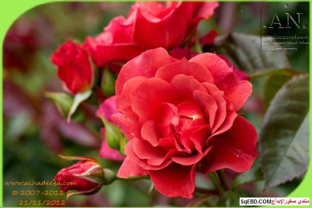 بالصور اجمل ورود الصباح, الحديقة الدولية , حديقة الزهور في بورتلاند do.php?img=7705