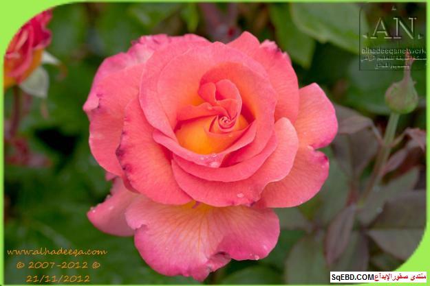 بالصور اجمل ورود الصباح, الحديقة الدولية , حديقة الزهور في بورتلاند do.php?img=7707
