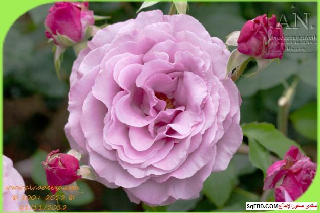 بالصور اجمل ورود الصباح, الحديقة الدولية , حديقة الزهور في بورتلاند do.php?img=7712