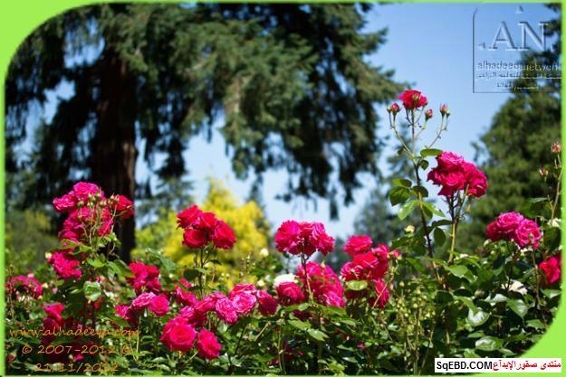 بالصور اجمل ورود الصباح, الحديقة الدولية , حديقة الزهور في بورتلاند do.php?img=7713