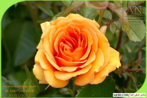 بالصور اجمل ورود الصباح, الحديقة الدولية , حديقة الزهور في بورتلاند do.php?img=7715