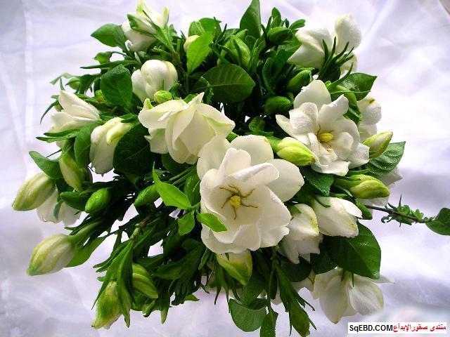 نبتة الجاردينيا المنزلية , الجاردينيا المنزلية, كيفية الاهتمام بالغاردينيا do.php?img=8417