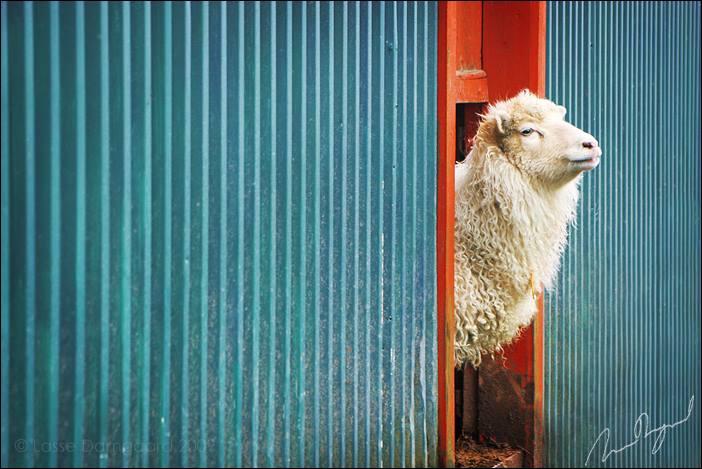 خروف العيد خروف للتصميم خروف