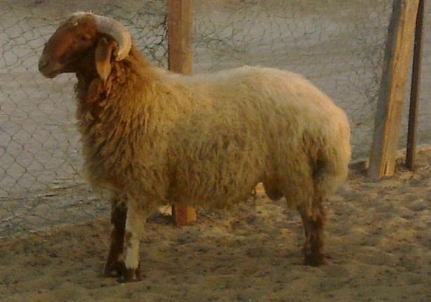 خروف العيد 1443هـ بالصور كبش عيد الاضحى خلفيات خروف العيد للواتس اب مصورة 2021 صقور الإبدآع